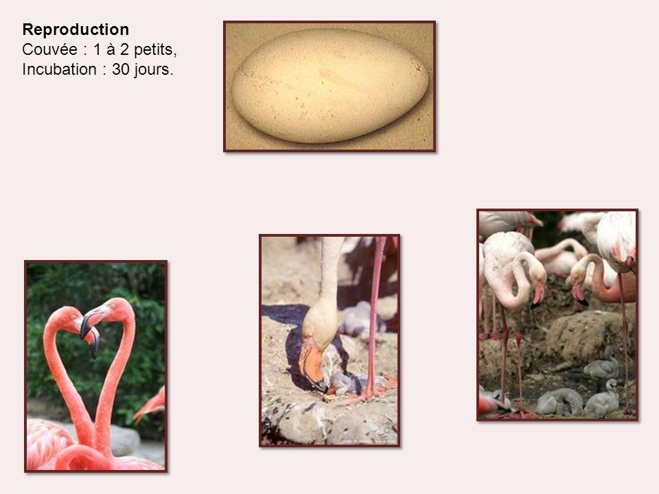 Le flamant rose plonge son bec bossué dans la vase pour rechercher plancton, vers, mollusques, crevettes, larves d'insectes, crustacés (dont l'artémia