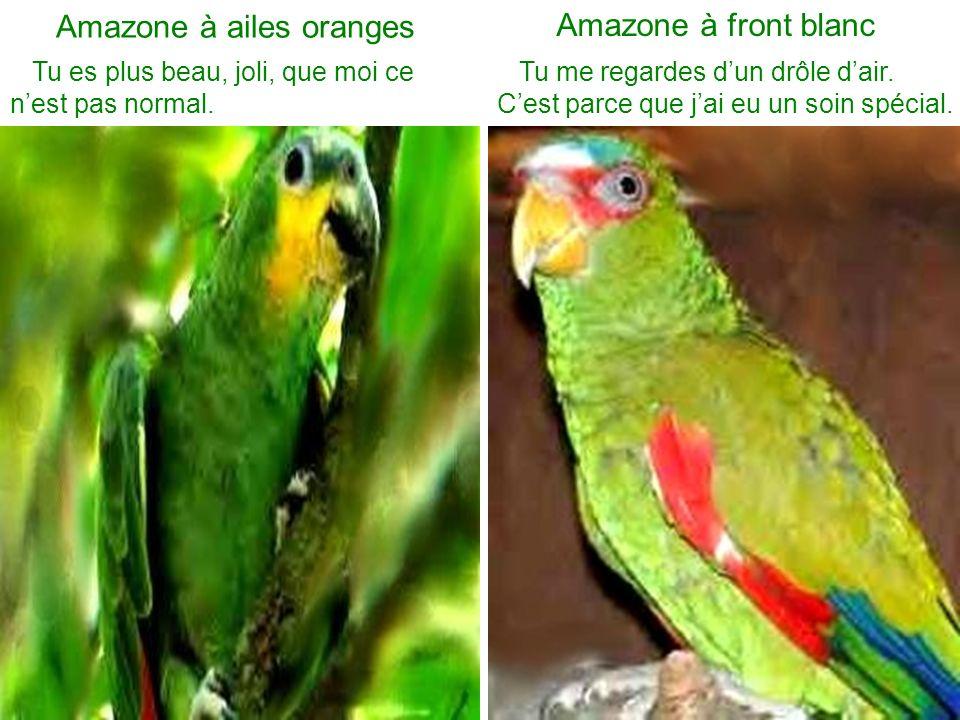 Amazone à ailes oranges Tu es plus beau, joli, que moi ce nest pas normal. Amazone à front blanc Tu me regardes dun drôle dair. Cest parce que jai eu