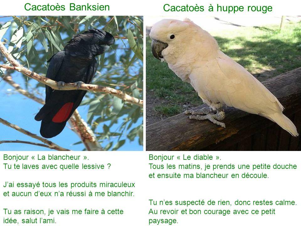 Cacatoès Banksien Cacatoès à huppe rouge Bonjour « La blancheur ».