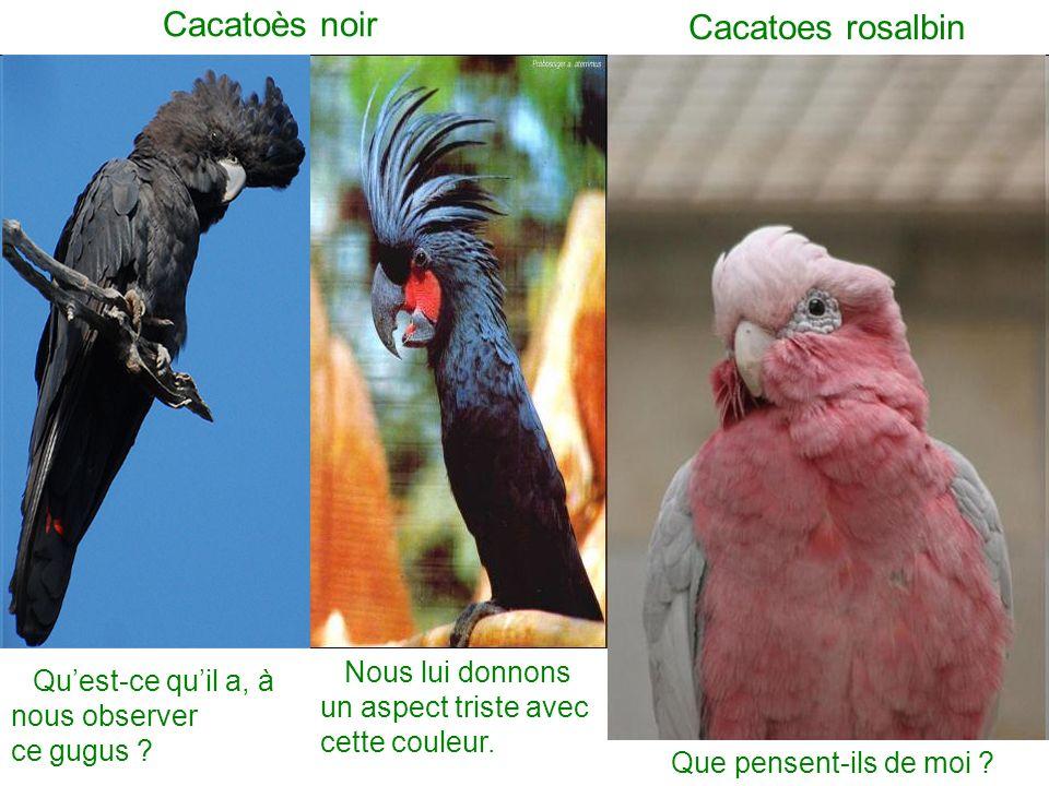 Cacatoès noir Cacatoes rosalbin Quest-ce quil a, à nous observer ce gugus .