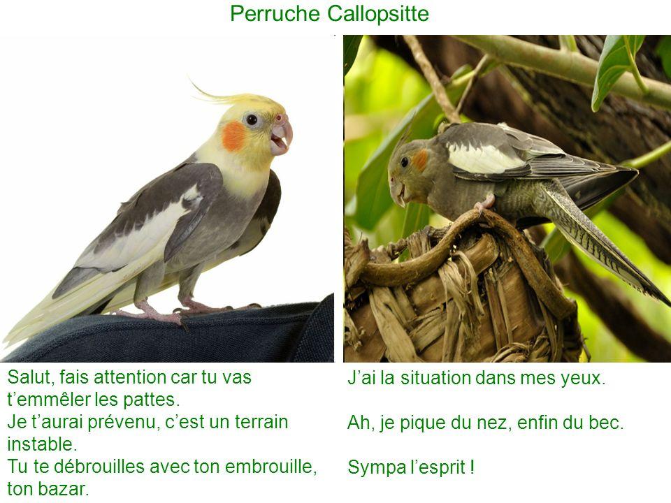 Perruche Callopsitte Salut, fais attention car tu vas temmêler les pattes.
