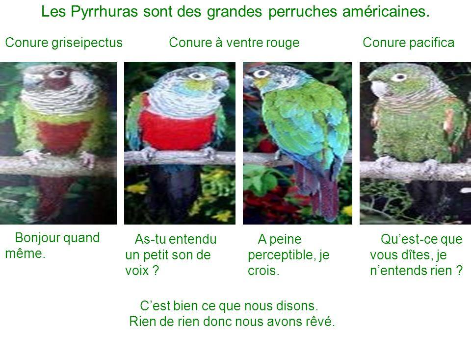 Les Pyrrhuras sont des grandes perruches américaines. Conure griseipectusConure pacificaConure à ventre rouge Bonjour quand même. As-tu entendu un pet