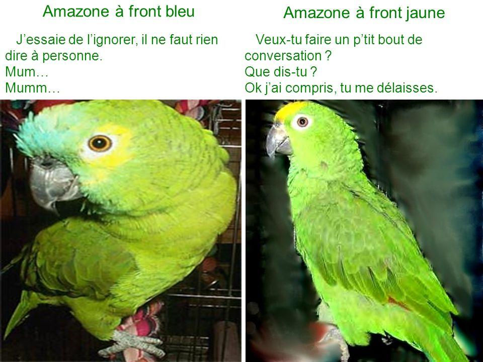 Amazone à front bleu Amazone à front jaune Jessaie de lignorer, il ne faut rien dire à personne.