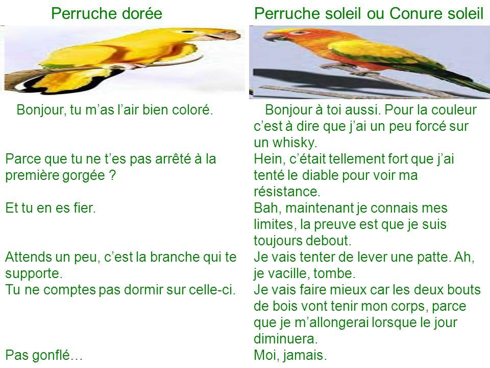 Perruche dorée Perruche soleil ou Conure soleil Bonjour, tu mas lair bien coloré.
