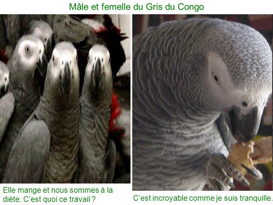 Cest incroyable comme je suis tranquille. Mâle et femelle du Gris du Congo Elle mange et nous sommes à la diète. Cest quoi ce travail ?