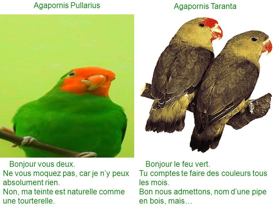 Agapornis Pullarius Agapornis Taranta Bonjour vous deux.