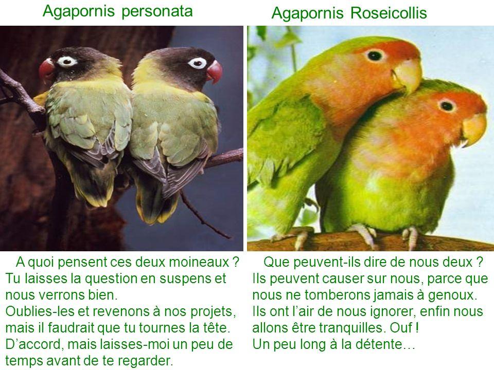 Agapornis personata Agapornis Roseicollis Que peuvent-ils dire de nous deux .
