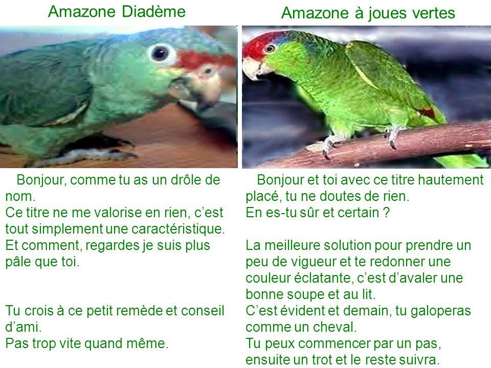 Amazone Diadème Amazone à joues vertes Bonjour, comme tu as un drôle de nom.