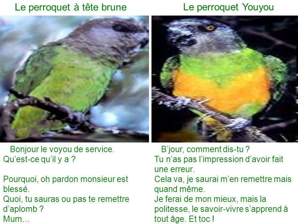 Le perroquet à tête brune Le perroquet Youyou Bonjour le voyou de service.
