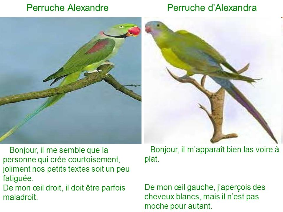 Perruche Alexandre Perruche dAlexandra Bonjour, il me semble que la personne qui crée courtoisement, joliment nos petits textes soit un peu fatiguée.