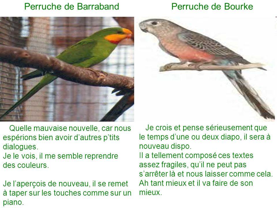 Perruche de Barraband Perruche de Bourke Quelle mauvaise nouvelle, car nous espérions bien avoir dautres ptits dialogues.