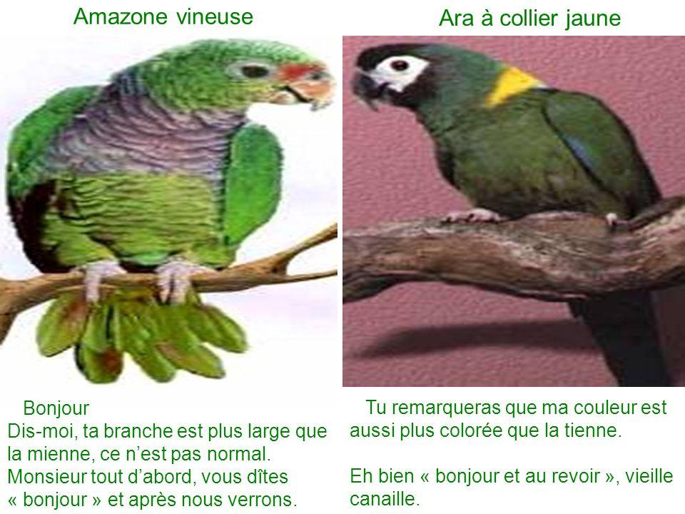 Amazone vineuse Ara à collier jaune Bonjour Dis-moi, ta branche est plus large que la mienne, ce nest pas normal. Monsieur tout dabord, vous dîtes « b