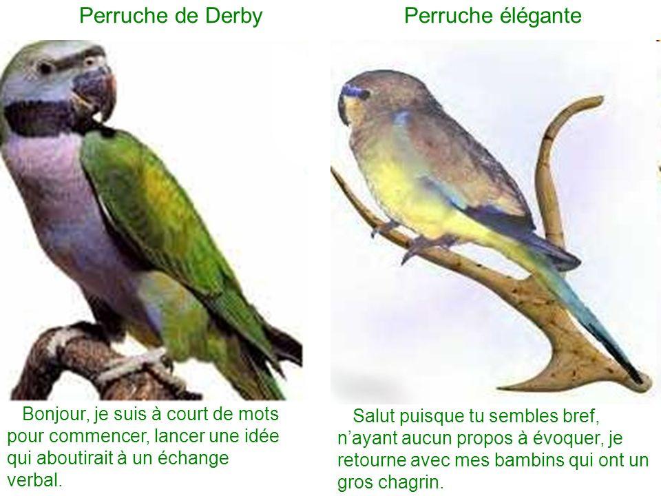 Perruche de Derby Perruche élégante Bonjour, je suis à court de mots pour commencer, lancer une idée qui aboutirait à un échange verbal. Salut puisque