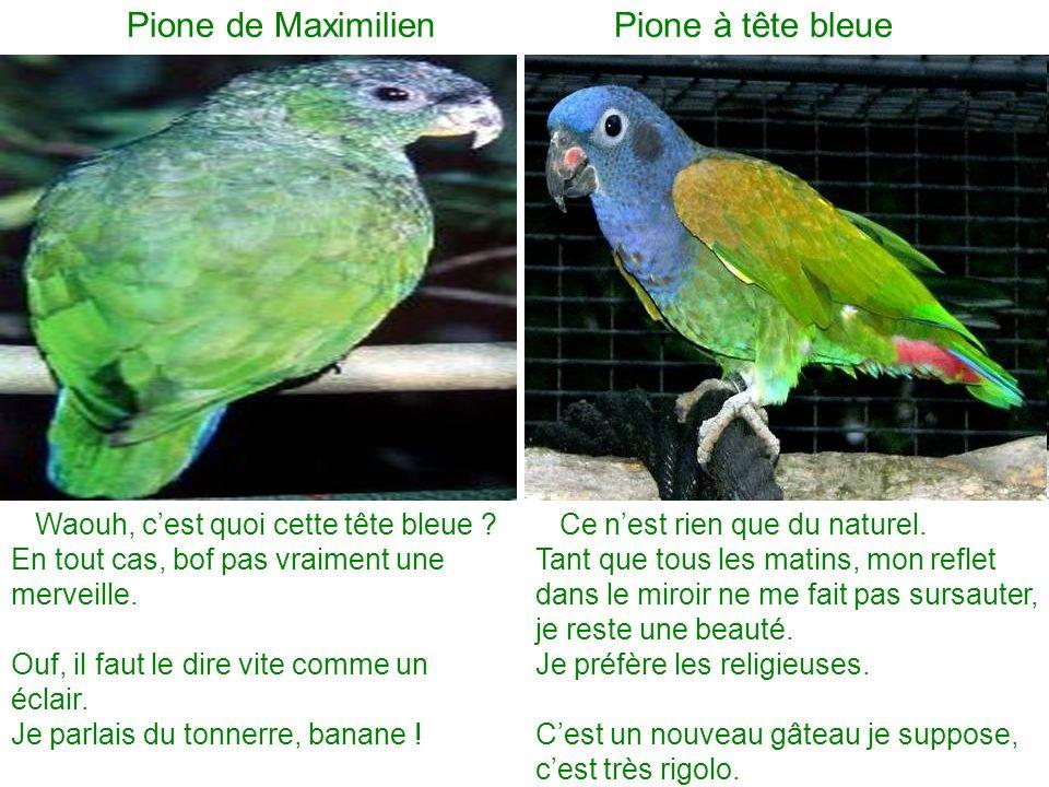 Pione de Maximilien Pione à tête bleue Ce nest rien que du naturel. Tant que tous les matins, mon reflet dans le miroir ne me fait pas sursauter, je r