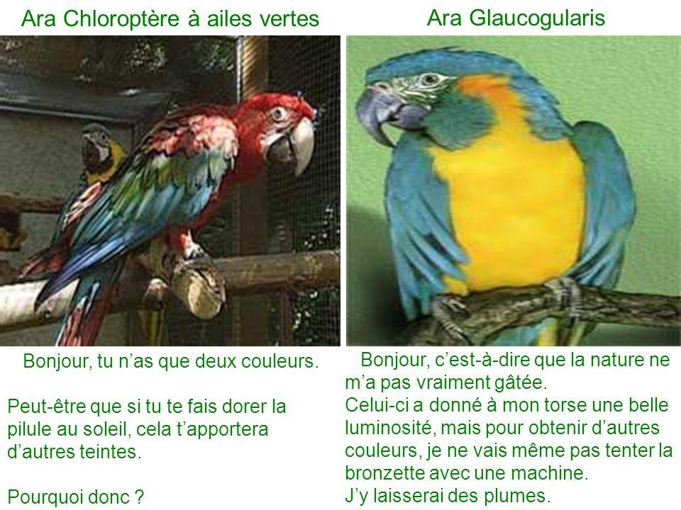 Ara Chloroptère à ailes vertes Ara Glaucogularis Bonjour, tu nas que deux couleurs. Peut-être que si tu te fais dorer la pilule au soleil, cela tappor