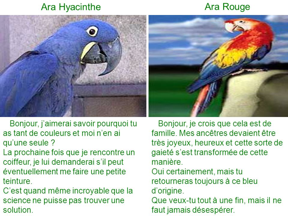 Ara Hyacinthe Ara Rouge Bonjour, jaimerai savoir pourquoi tu as tant de couleurs et moi nen ai quune seule .