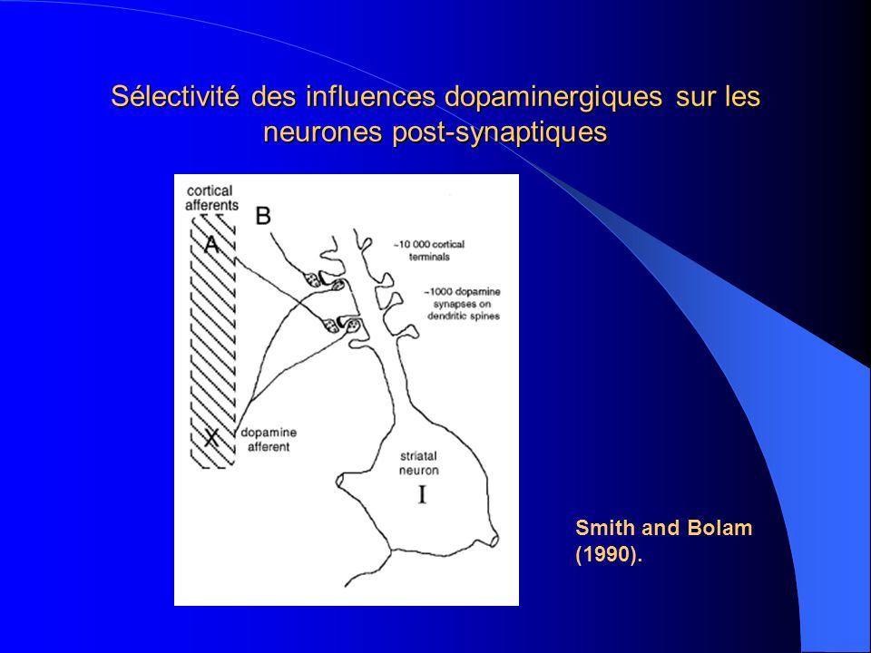 Sélectivité des influences dopaminergiques sur les neurones post-synaptiques Smith and Bolam (1990).