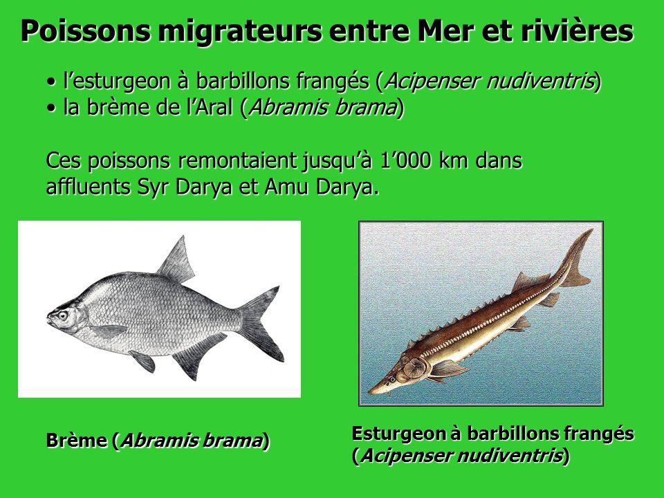 Poissons migrateurs entre Mer et rivières lesturgeon à barbillons frangés (Acipenser nudiventris) lesturgeon à barbillons frangés (Acipenser nudiventr