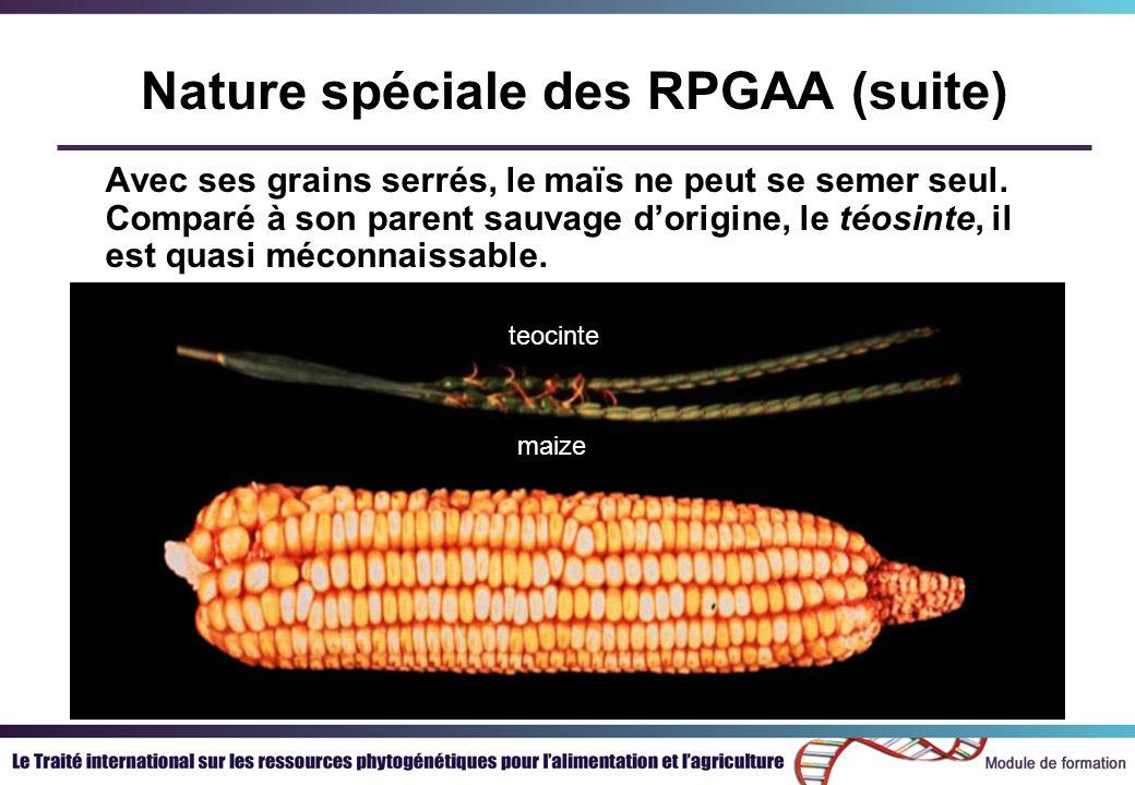 Avec ses grains serrés, le maïs ne peut se semer seul. Comparé à son parent sauvage dorigine, le téosinte, il est quasi méconnaissable. maize teocinte