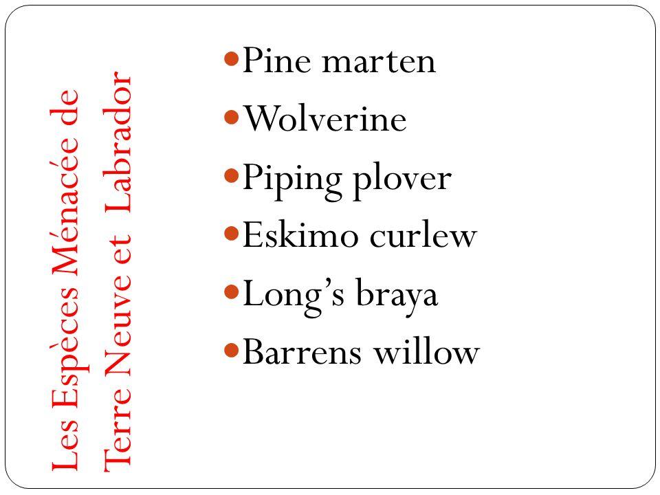 Les Espèces Ménacée de Terre Neuve et Labrador Pine marten Wolverine Piping plover Eskimo curlew Longs braya Barrens willow