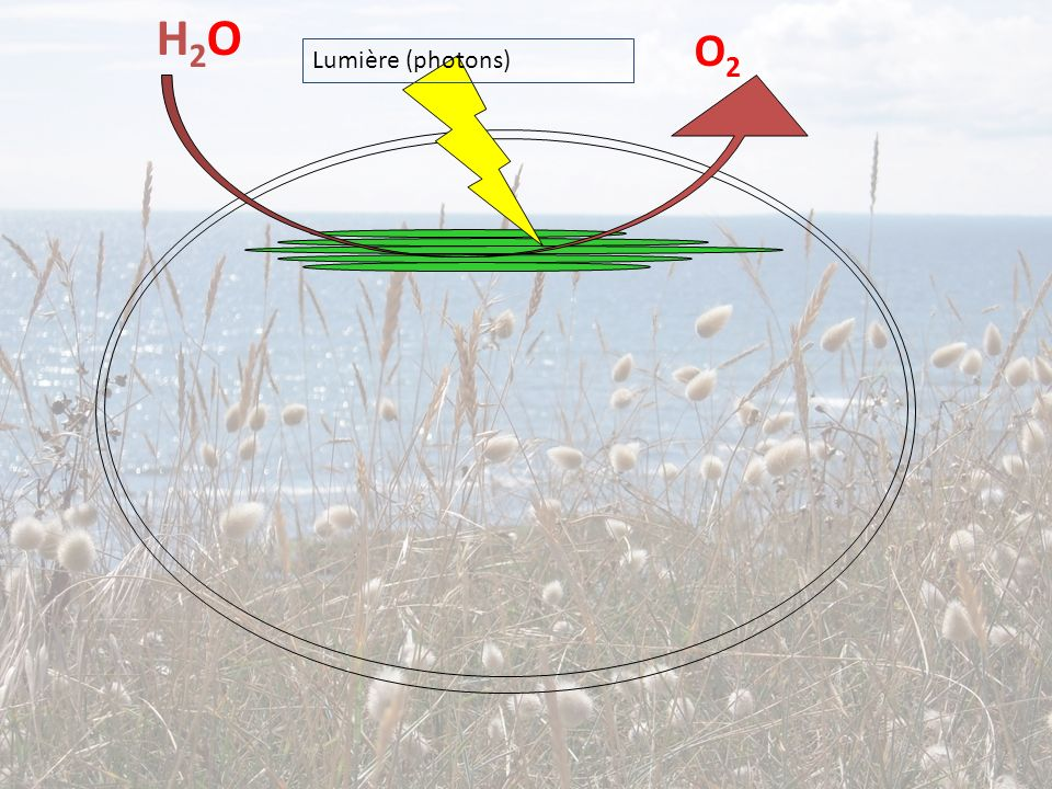 H2OH2O O2O2 Lumière (photons)