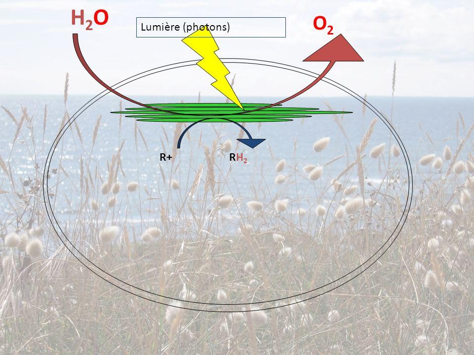 H2OH2O O2O2 R+ RH 2 Lumière (photons)
