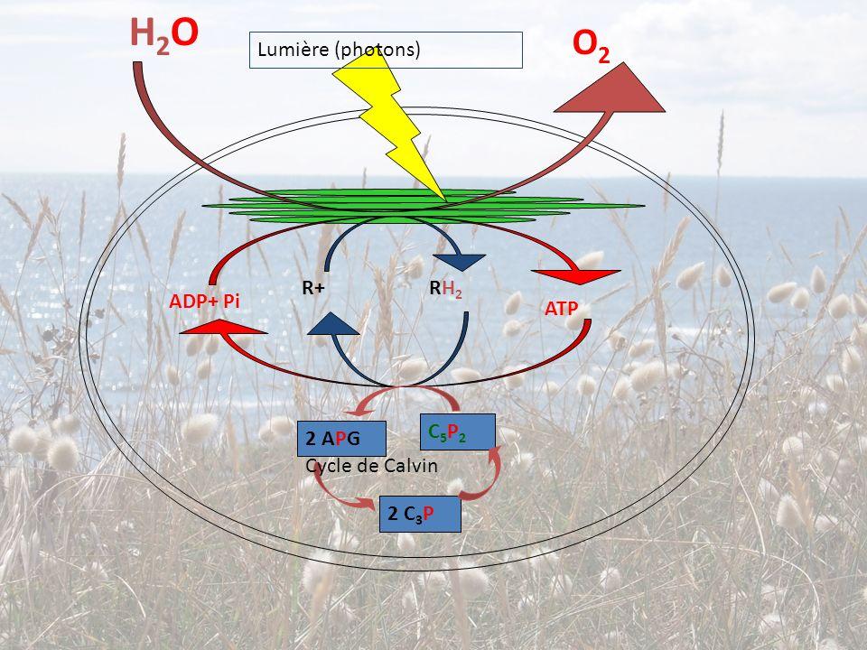H2OH2O O2O2 R+ RH 2 ADP+ Pi ATP Lumière (photons) C5P2C5P2 2 APG 2 C 3 P Cycle de Calvin