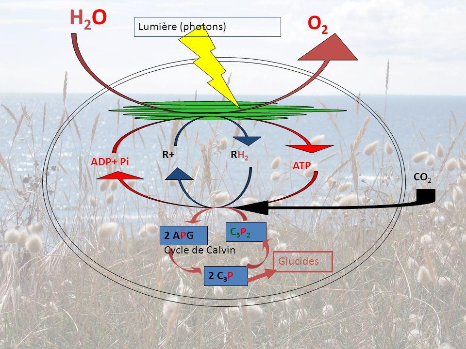 H2OH2O O2O2 R+ RH 2 ADP+ Pi ATP Lumière (photons) C5P2C5P2 2 APG 2 C 3 P Cycle de Calvin CO 2 Glucides