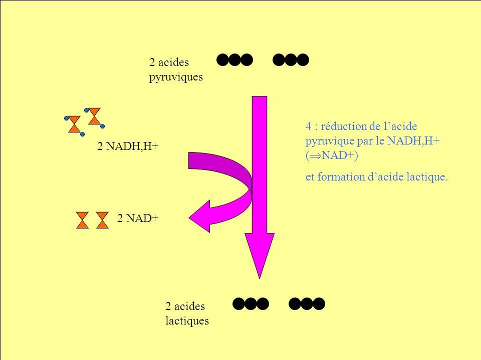 2 acides pyruviques 2 NAD+ 2 NADH,H+ 2 acides lactiques 4 : réduction de lacide pyruvique par le NADH,H+ ( NAD+) et formation dacide lactique.