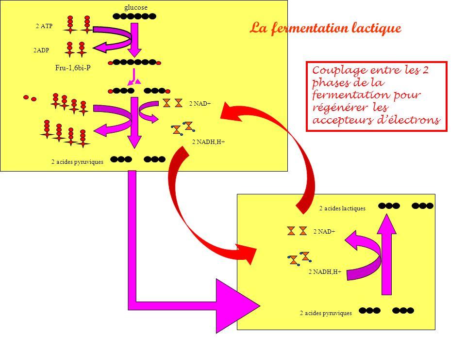 glucose 2 ATP 2ADP Fru-1,6bi-P 2 NAD+ 2 acides pyruviques 2 NADH,H+ 2 NAD+ 2 acides pyruviques 2 acides lactiques La fermentation lactique Couplage entre les 2 phases de la fermentation pour régénérer les accepteurs délectrons