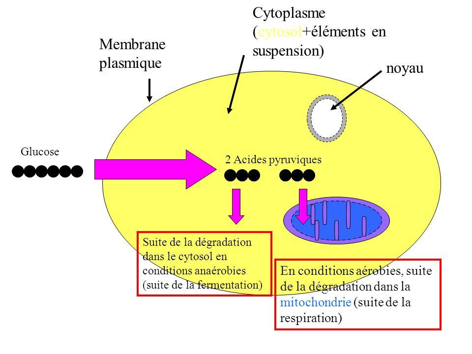 Membrane plasmique Cytoplasme (cytosol+éléments en suspension) noyau Glucose 2 Acides pyruviques Suite de la dégradation dans le cytosol en conditions anaérobies (suite de la fermentation) En conditions aérobies, suite de la dégradation dans la mitochondrie (suite de la respiration)
