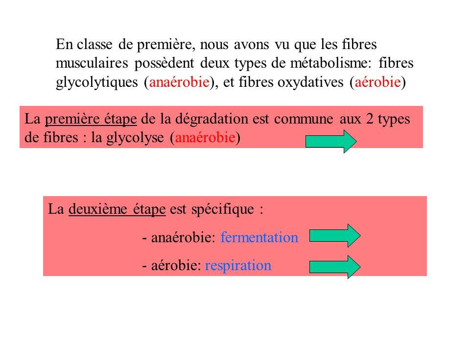 En classe de première, nous avons vu que les fibres musculaires possèdent deux types de métabolisme: fibres glycolytiques (anaérobie), et fibres oxydatives (aérobie) La première étape de la dégradation est commune aux 2 types de fibres : la glycolyse (anaérobie) La deuxième étape est spécifique : - anaérobie: fermentation - aérobie: respiration