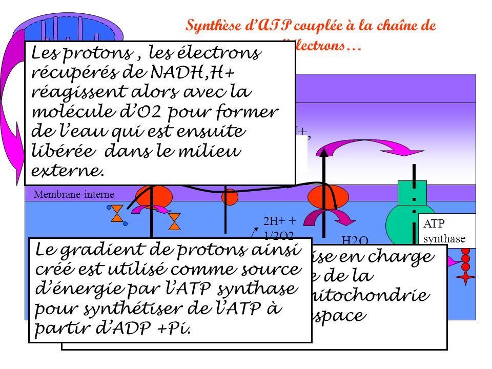 Matrice mitochondriale Membrane interne Espace intermembranaire Membrane externe mitochondriale H+,H+ Synthèse dATP couplée à la chaîne de transporteurs délectrons… e- H+, H+, H+H+, H+, H+,H+,H+,H+… ATP synthase Chaine de transfert des électrons Oxydation de NADH,H+,prise en charge des électrons par la chaîne de la membrane interne de la mitochondrie et transfert des H+ dans lespace intermembranaire.