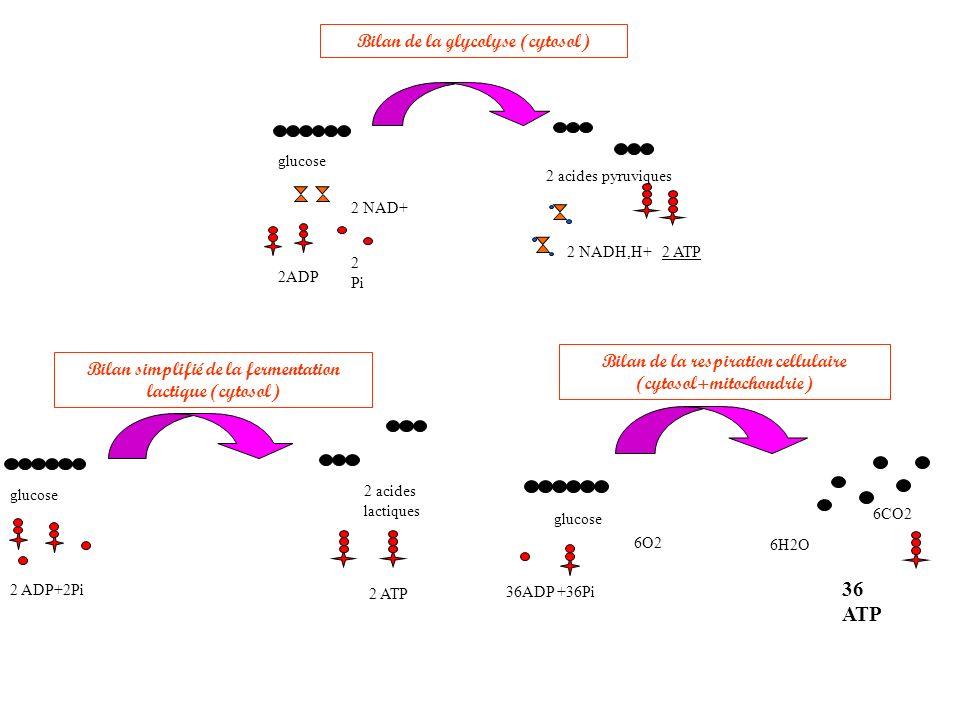 Bilan de la respiration cellulaire (cytosol+mitochondrie) glucose 36ADP +36Pi 6O2 6CO2 36 ATP 6H2O Bilan simplifié de la fermentation lactique (cytosol) glucose 2 ADP+2Pi 2 acides lactiques 2 ATP Bilan de la glycolyse (cytosol) 2ADP 2 NAD+ 2 Pi glucose 2 acides pyruviques 2 ATP2 NADH,H+