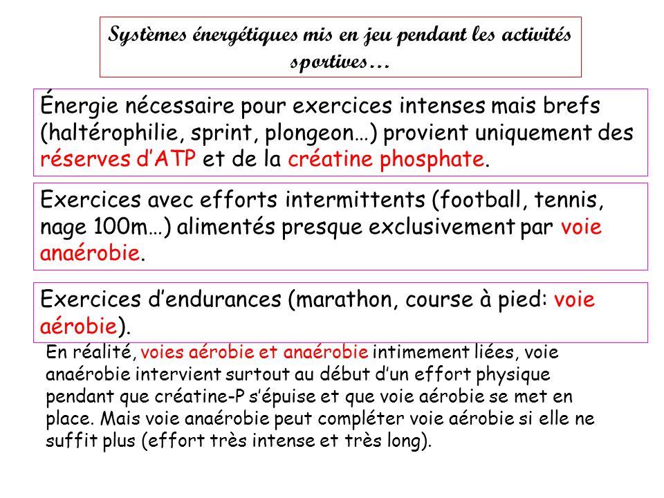 Systèmes énergétiques mis en jeu pendant les activités sportives… Énergie nécessaire pour exercices intenses mais brefs (haltérophilie, sprint, plongeon…) provient uniquement des réserves dATP et de la créatine phosphate.