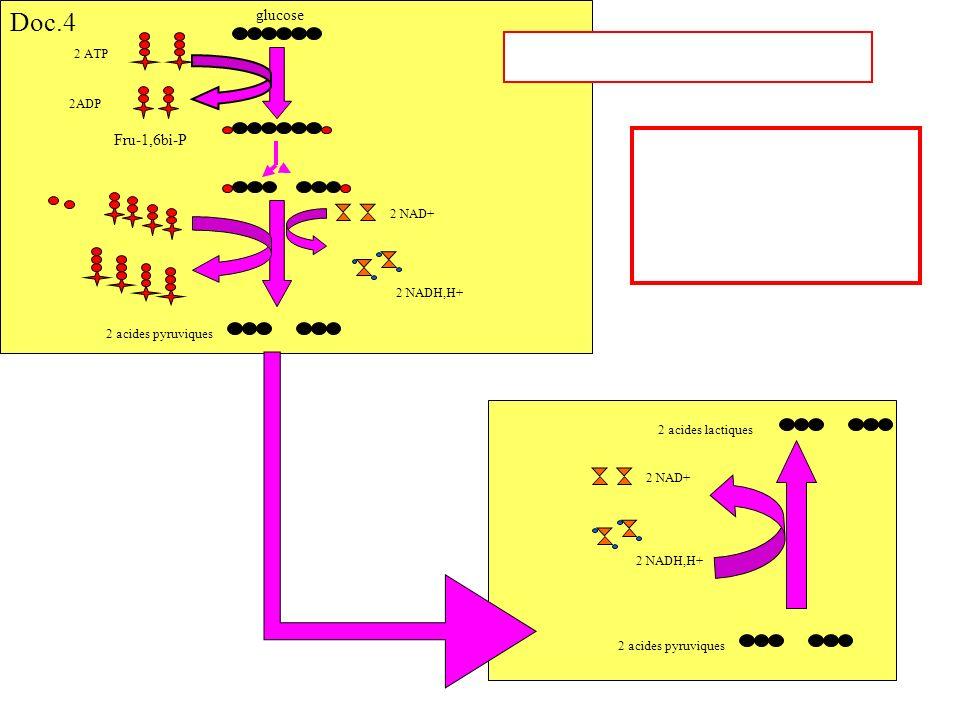 glucose 2 ATP 2ADP Fru-1,6bi-P 2 NAD+ 2 acides pyruviques 2 NADH,H+ 2 NAD+ 2 acides pyruviques 2 acides lactiques Doc.4