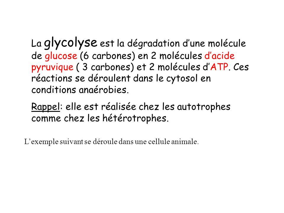 La glycolyse est la dégradation dune molécule de glucose (6 carbones) en 2 molécules dacide pyruvique ( 3 carbones) et 2 molécules dATP.