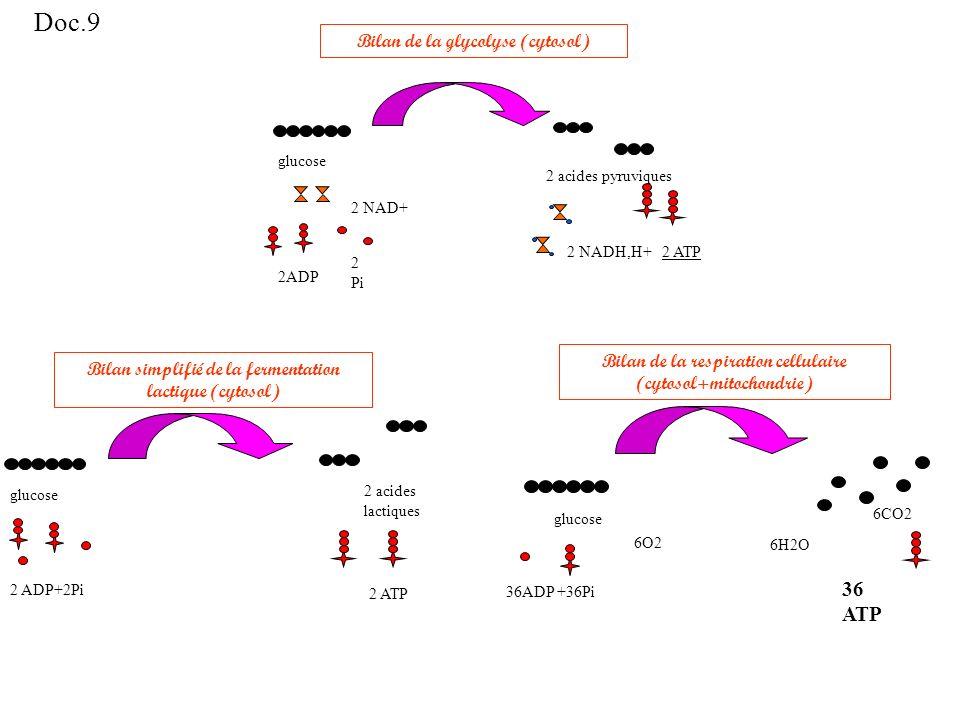 Bilan de la respiration cellulaire (cytosol+mitochondrie) glucose 36ADP +36Pi 6O2 6CO2 36 ATP 6H2O Bilan simplifié de la fermentation lactique (cytosol) glucose 2 ADP+2Pi 2 acides lactiques 2 ATP Bilan de la glycolyse (cytosol) 2ADP 2 NAD+ 2 Pi glucose 2 acides pyruviques 2 ATP2 NADH,H+ Doc.9