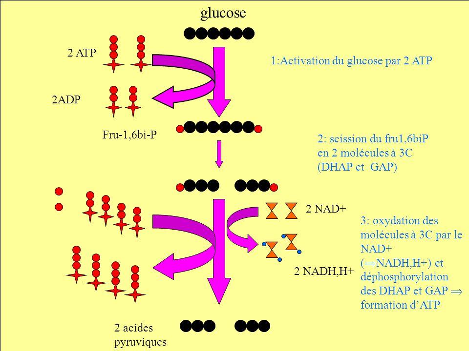 glucose 2 ATP 2ADP 1:Activation du glucose par 2 ATP 2: scission du fru1,6biP en 2 molécules à 3C (DHAP et GAP) 3: oxydation des molécules à 3C par le NAD+ ( NADH,H+) et déphosphorylation des DHAP et GAP formation dATP Fru-1,6bi-P 2 NAD+ 2 NADH,H+ 2 acides pyruviques