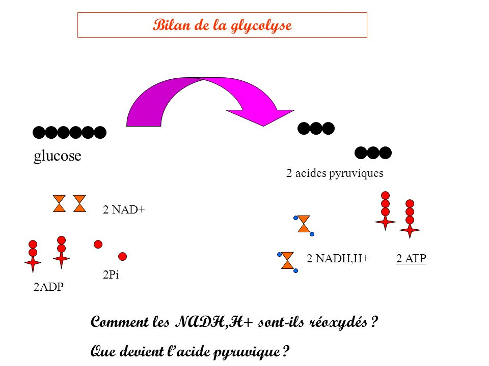 noyau Membrane plasmique Cytoplasme (cytosol+éléments en suspension) Glucose 2 Acides pyruviques glycolyse Suite de la fermentation dans le cytosol (conditions anaérobies)