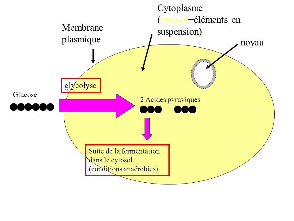 glucose 2 ATP 2AD P Fru-1,6bi-P 2 NAD+ 2 acides pyruviques 2 NADH,H+ 2: e-e- 2H+, +1/2 O2 H2O H+, H+, H+H+, H+, H+,H+,H+,H+… H+,H+ Bilan de la respiration cellulaire 1: 3: par phosphorylation oxydative au niveau de la chaîne de transporteurs délectrons mitochondriale Doc.8