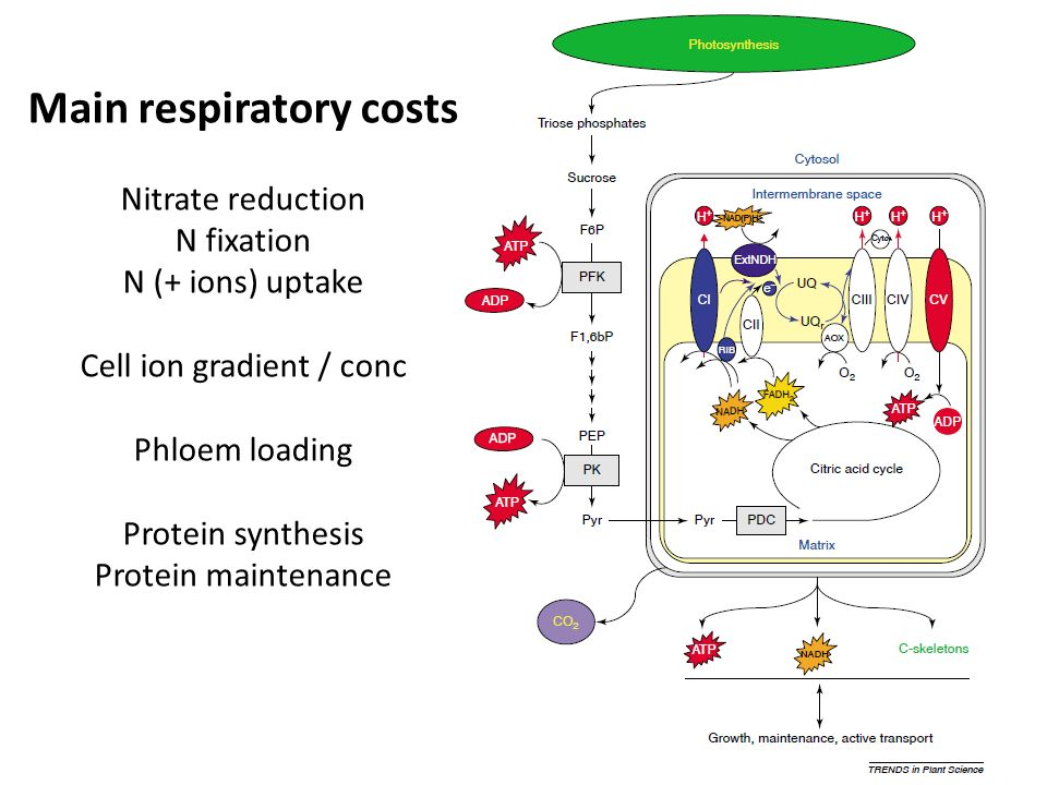 Main respiratory costs Nitrate reduction N fixation N (+ ions) uptake Cell ion gradient / conc Phloem loading Protein synthesis Protein maintenance