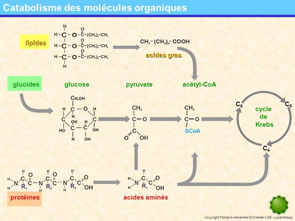 copyright:Fernand-Alexandre Schroeder LGE - Luxembourg localisation des voies métaboliques La dégradation du glucose: localisation des voies métaboliques pyruvate glucides glucose acétyl-CoA cycle de Krebs C6C6 C4C4 C5C5 mitochondrie cytosol ATP = phosporylation liée au substrat Le complexe enzymatique (la pyruvate déshydrogénase) responsable de loxydation du pyruvate est logé dans la membrane mitochondriale.
