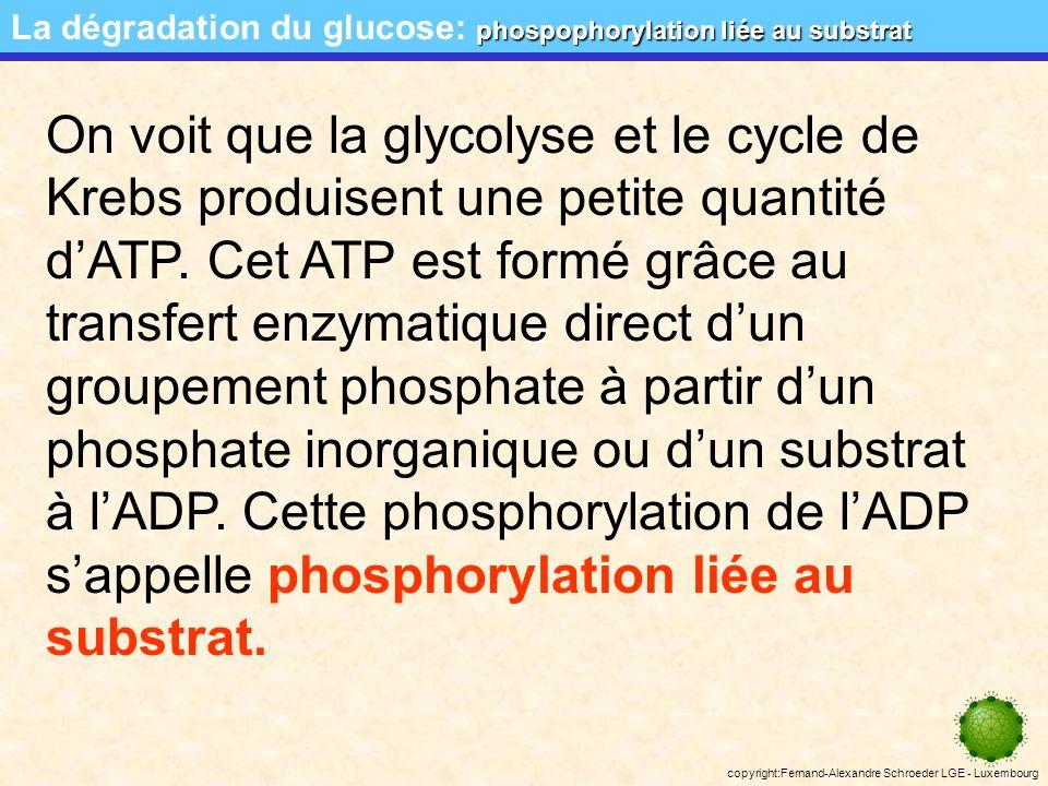 copyright:Fernand-Alexandre Schroeder LGE - Luxembourg ultrastructure de la mitochondrie La dégradation du glucose: ultrastructure de la mitochondrie 5 5