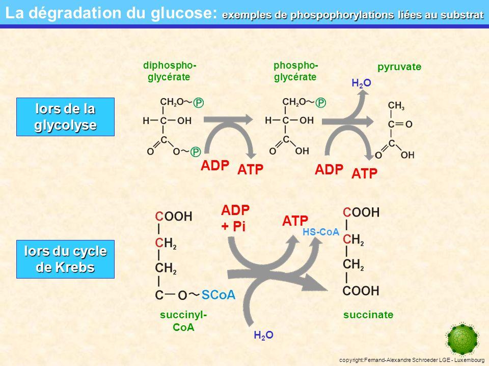 copyright:Fernand-Alexandre Schroeder LGE - Luxembourg phospophorylation liée au substrat La dégradation du glucose: phospophorylation liée au substrat On voit que la glycolyse et le cycle de Krebs produisent une petite quantité dATP.