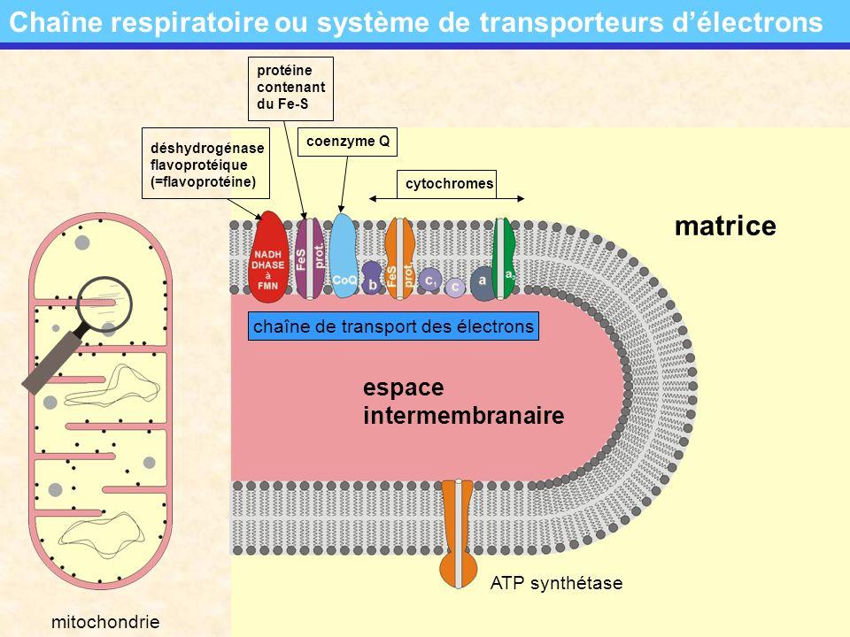 copyright:Fernand-Alexandre Schroeder LGE - Luxembourg bilan provisoire pour la dégradation dune molécule de glucose La dégradation du glucose: bilan provisoire pour la dégradation dune molécule de glucose Bilan de la glycolyse: production de 2 molécules de NADH+H + : + 2 NADH 2 production de 2 molécules dATP: + 2 ATP Bilan du cycle de Krebs: production de 6 molécules de NADH+H + : + 6 NADH 2 production de 2 molécules des FADH 2 ;+ 2 FADH 2 production de 2 molécules dATP: + 2 ATP Bilan provisoire: glucose 6CO 2 production de 10 molécules de NADH+H + : 10 NADH 2 production de 2 molécules des FADH 2 ; 2 FADH 2 production de 4 molécules dATP: 4 ATP Bilan de loxydation du pyruvate: production de 2 molécules de NADH+H + : + 2 NADH 2