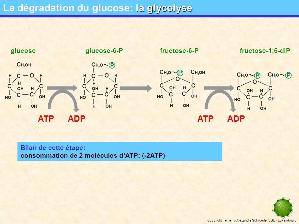copyright:Fernand-Alexandre Schroeder LGE - Luxembourg ATPADPATPADP glucoseglucose-6-Pfructose-6-Pfructose-1;6-diP Bilan de cette étape: consommation de 2 molécules dATP: (-2ATP) la glycolyse La dégradation du glucose: la glycolyse