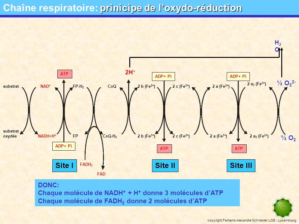 copyright:Fernand-Alexandre Schroeder LGE - Luxembourg H+H+ H+H+ H+H+ ADP + Pi ATP-synthétase H+H+ H+H+ H+H+ H+H+ H+H+ H+H+ H+H+ H+H+ ATP H+H+ La translocation des protons de la matrice vers lespace intermembranaire engendre un gradient électrochimique.