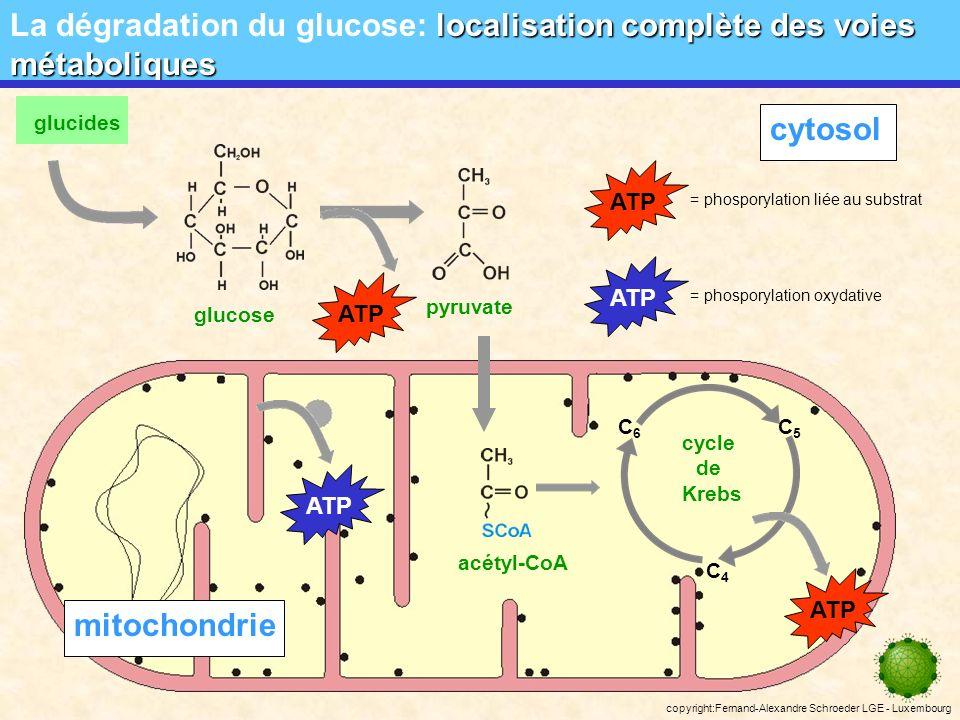 copyright:Fernand-Alexandre Schroeder LGE - Luxembourg prinicipe de loxydo-réduction Chaîne respiratoire: prinicipe de loxydo-réduction substrat NADH+H + NAD + FP-H 2 FP CoQ CoQ-H 2 2 b (Fe 3+ ) 2 b (Fe 2+ )2 c (Fe 3+ ) 2 c (Fe 2+ ) 2 a 3 (Fe 3+ ) 2 a 3 (Fe 2+ )2 a (Fe 3+ ) 2 a (Fe 2+ ) 2H + substrat oxydée H2OH2O ½ O 2 ½ O 2 2- ADP+ Pi ATP Site I ATP Site II ATP Site III FADH 2 FAD DONC: Chaque molécule de NADH + + H + donne 3 molécules dATP Chaque molécule de FADH 2 donne 2 molécules dATP