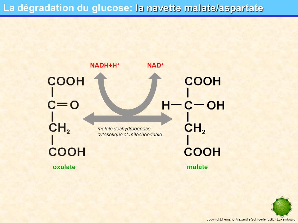 copyright:Fernand-Alexandre Schroeder LGE - Luxembourg les navettes mitochondriales La dégradation du glucose: les navettes mitochondriales Problème: